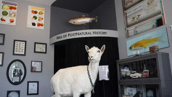Transgenic Goat at the PostNatural Museum in Pittsburgh