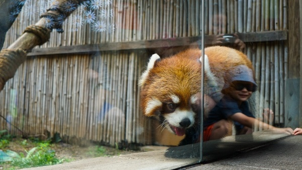Red Panda at the Pittsburgh Zoo