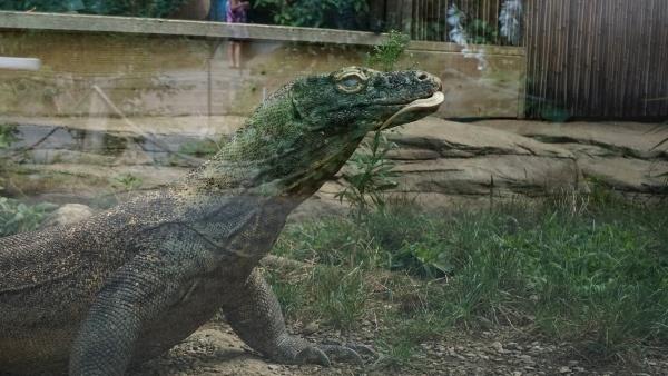 Komodo Dragon at the Pittsburgh Zoo