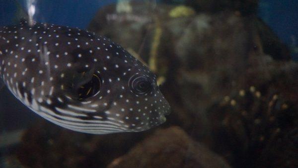Blowfish at the Pittsburgh Aquarium