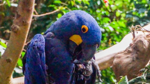 Hyacinth Macaw at the Aviary in Pittsburgh