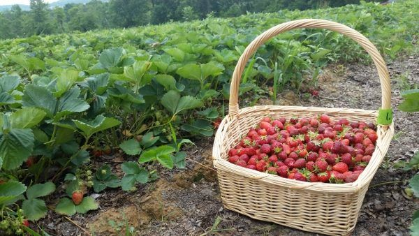 Strawberries at Paskorz Berry Farm
