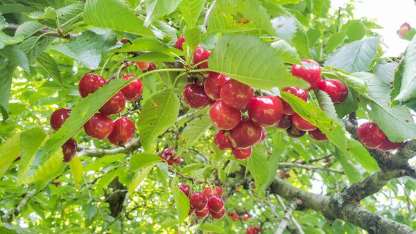 Cherries at Normans Orchard