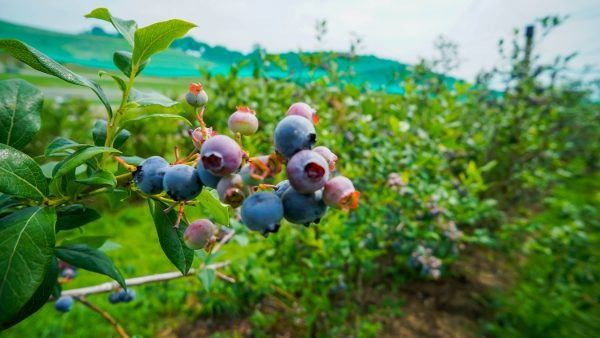 Blueberries at Trax Farms