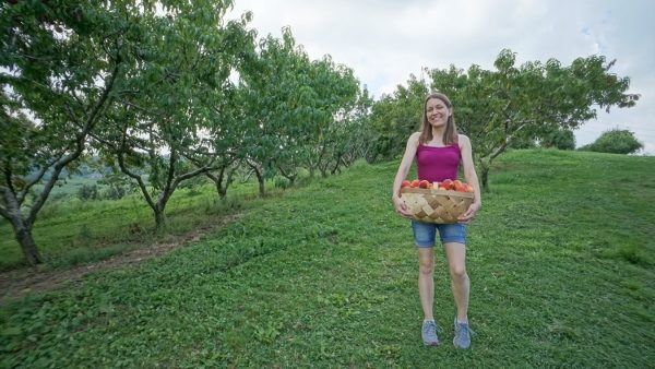 Peach Picking at Simmons Farm