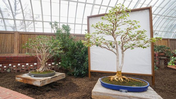 Bonsai at Phipps Conservatory