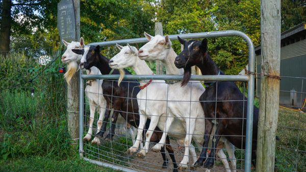 Goats at Churchview Farm