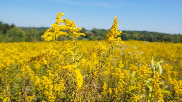 Fall goldenrod bloom at Fern Hollow Sewickley