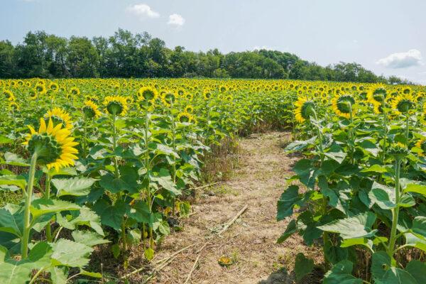 Maple Bottom Farm Sunflower Maze