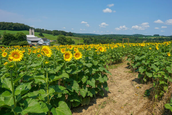 Sunflower Maze at Maple Bottom Farm