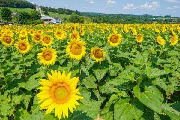 Sunflowers at Maple Bottom Farm