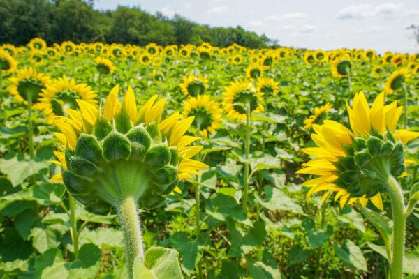 Sunflowers Near Pittsburgh