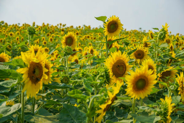 Sunflowers at Renshaw Farms