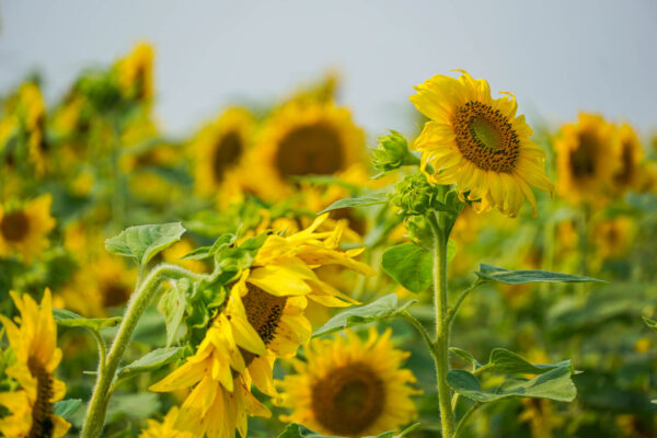 Sunflowers at Renshaw Family Farms