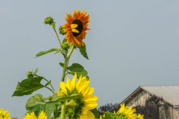 A lone sunflower rises above the rest at Renshaw Farms