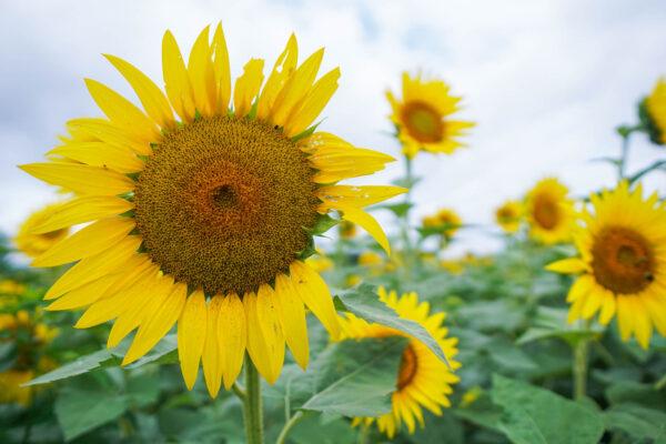 Gorgeous sunflowers near Pittsburgh