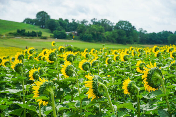 Sunflowers from Behind at Schwirian Farm