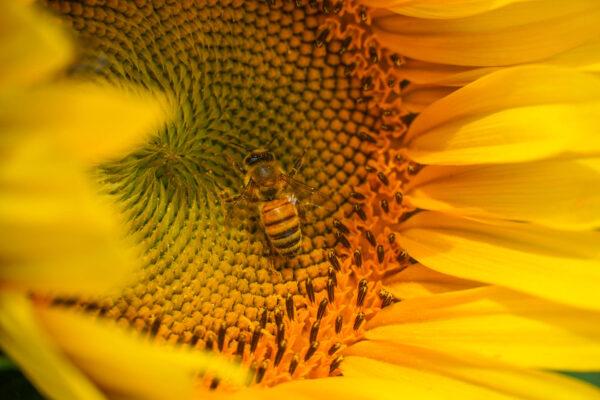 Warning- bees love sunflowers too