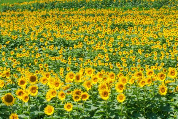 Schwirian Farms Sunflower Field